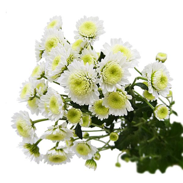 хризантема сталион фото